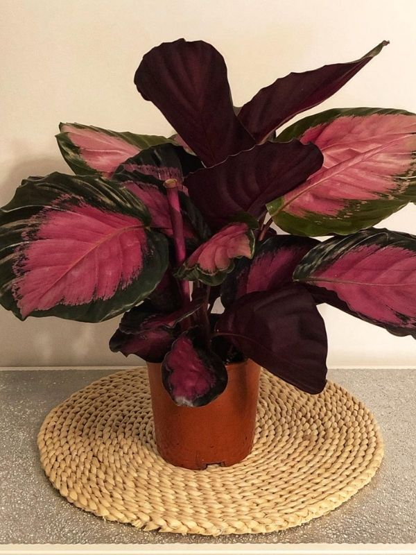Kalatea Crimson (Calathea Goeppertia Picturata Crimson)
